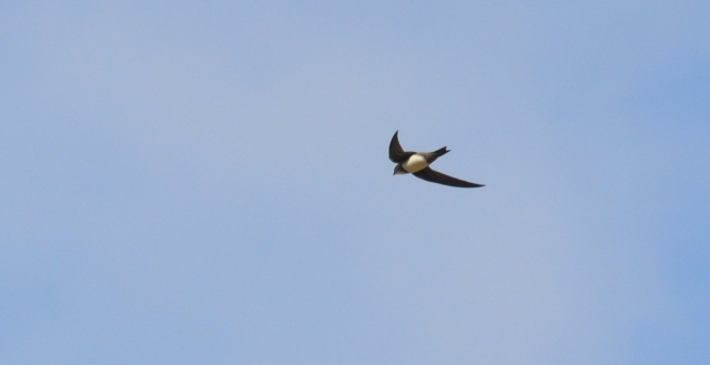 Alpine Swift;Lesvos