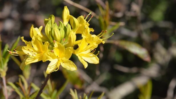 Rhododentrum luteum; Lesvos