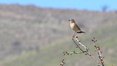 Isabelline Wheatear; Lesvos Birds
