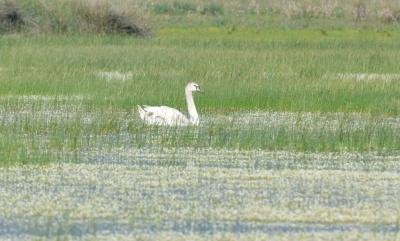 Mute Swan; Lesvos