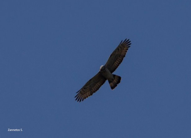 Crested Honey Buzzard Stelios Zannetos