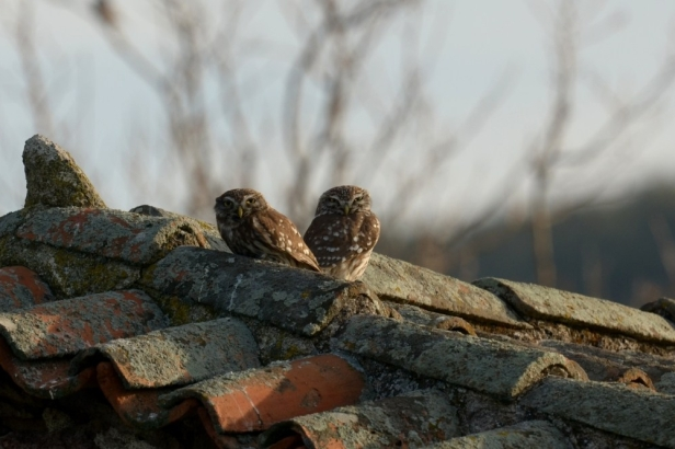 Little Owl;Lesvos