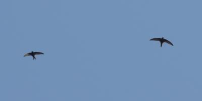 Common Swifts; Mitilini town; LesvosBirds