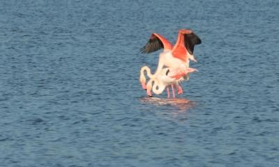 flamingos mating Lesvos 2019