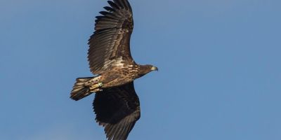 White-tailed Eagle with transmitter Lesvos