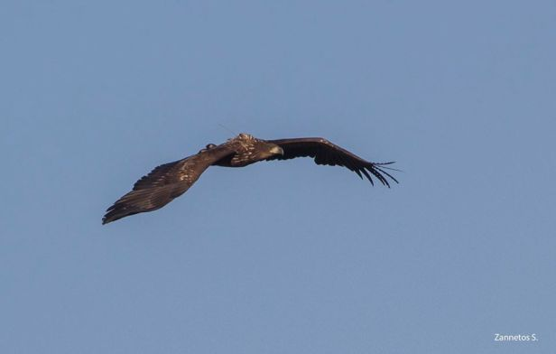White-tailed Eagle transmitter Lesvos
