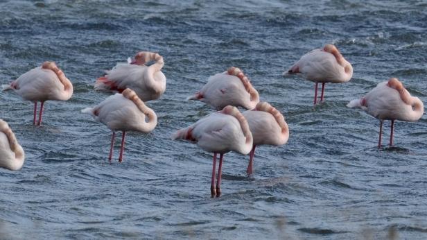 Flamingo; Lesvos