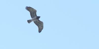 Circaetus gallicus, Short-toed Eagle, Lesvos