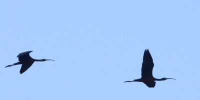 Glossy Ibis, Lesvos